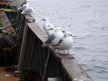 чайки, бакланы, на борту судна.
